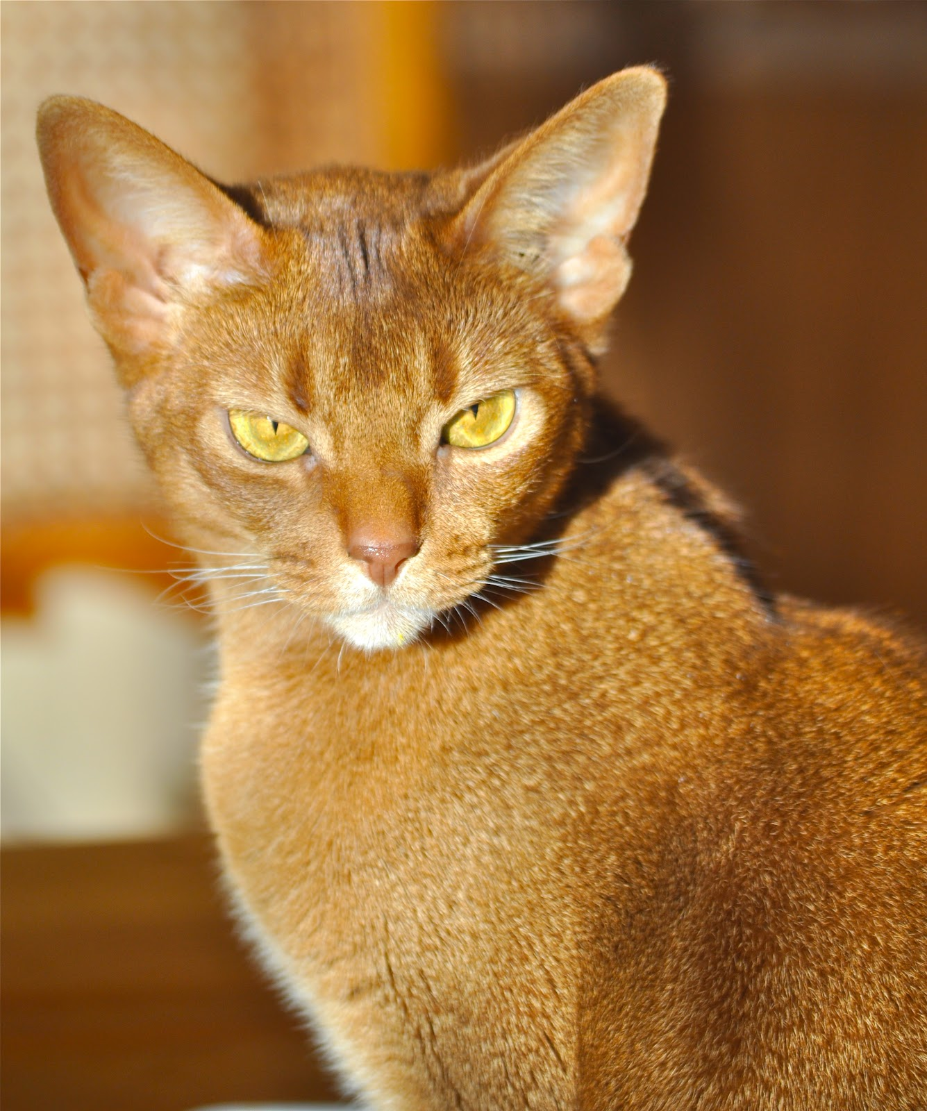 Abyssinian Cat Eye Color