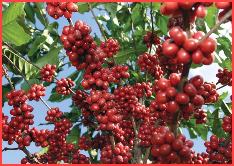 dove acquistare il chicco di caffè verde max in sudafrica