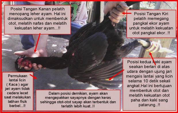 Cara Melatih Leher Ayam Bangkok