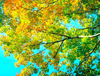 Autumn in South Africa leaves of gold and green