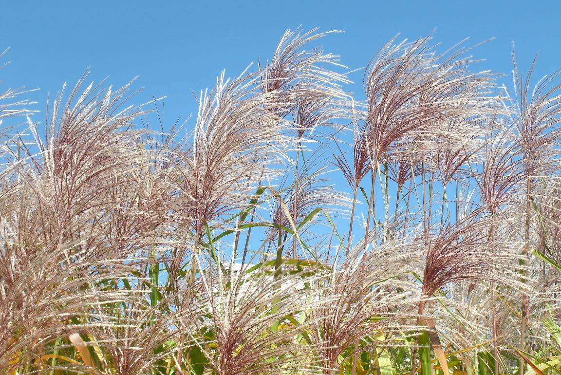 Fall Miscanthus sinensis Maiden Grass seedheads at Toronto Music Garden by garden muses-not another Toronto gardening blog