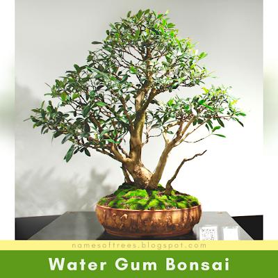 Water Gum Bonsai