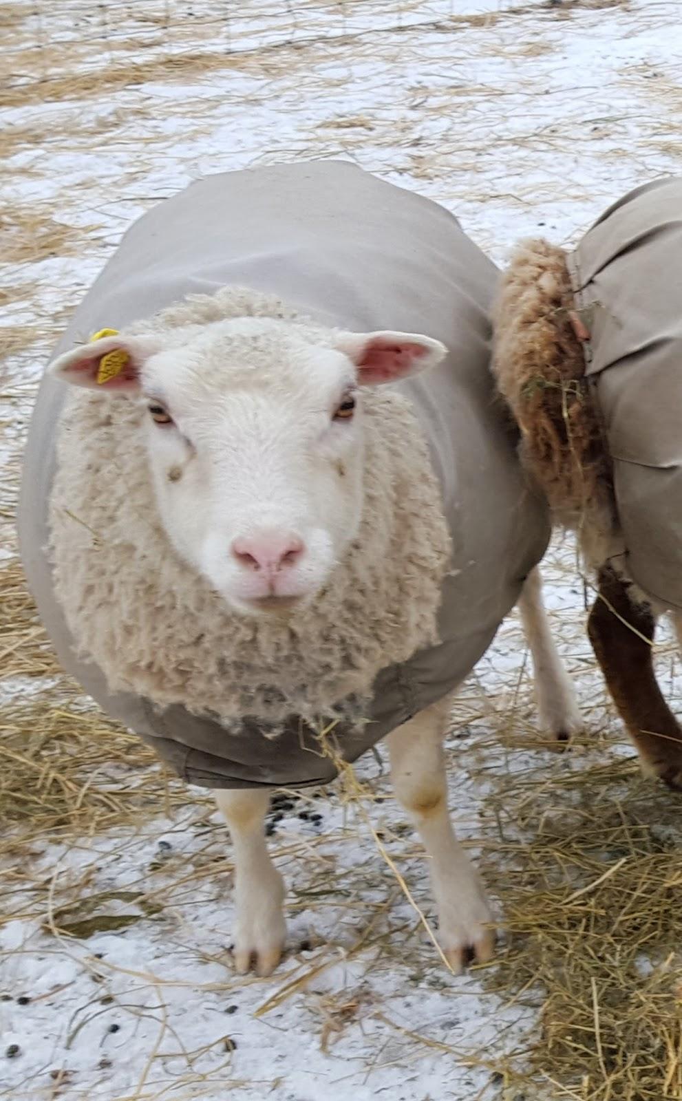 OK Acres Shetlands: Ewes For Sale (Proven)