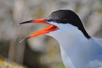 Common tern close up, breeding plumage Nantucket NWR, MA, Amanda Boyd, USFWS