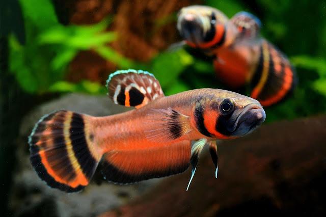 Ikan Cupang Spesies Betta Macrostoma atau Cupang Brunei Jantan
