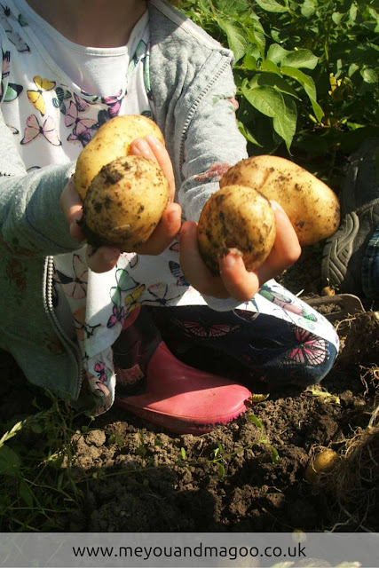 young child enjoys harvesting muddy new potatoes straight from the soil