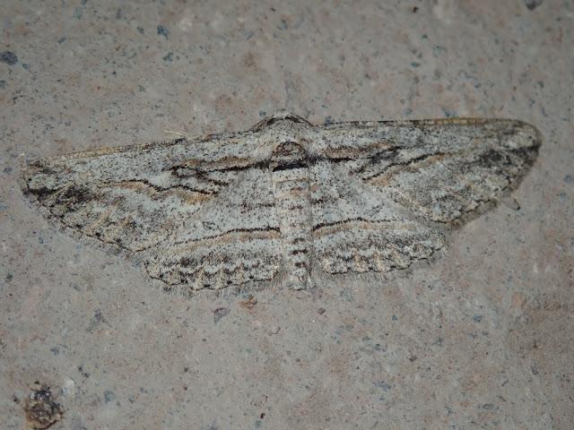 Iridopsis obliquaria