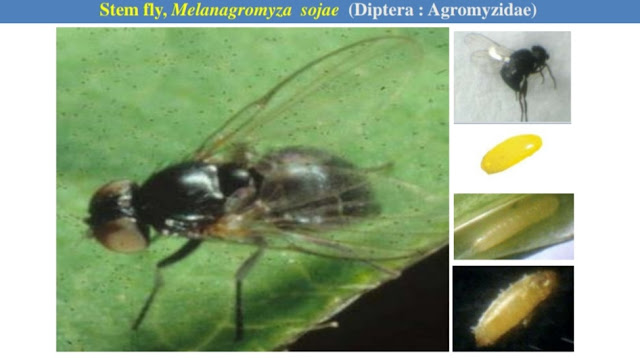 Pests of Soybean and their Management by agrifunda