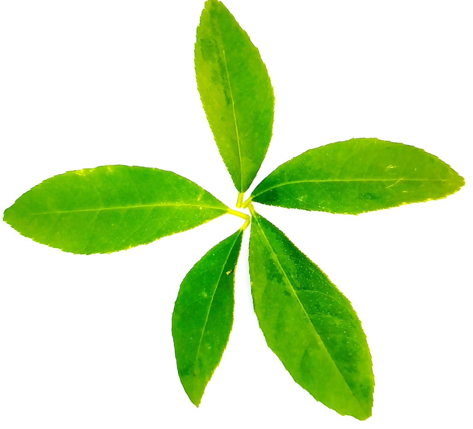 Natural Green Lemon Leaf