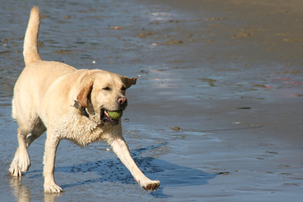 Labrador playing Hendry's Beach