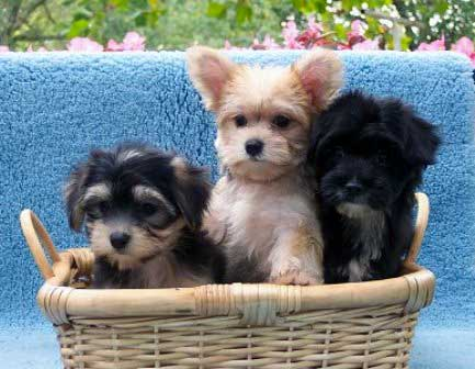 Shih-Mo (Shih-Mos) info and Pictures ~ Blog of Dogs Breeds