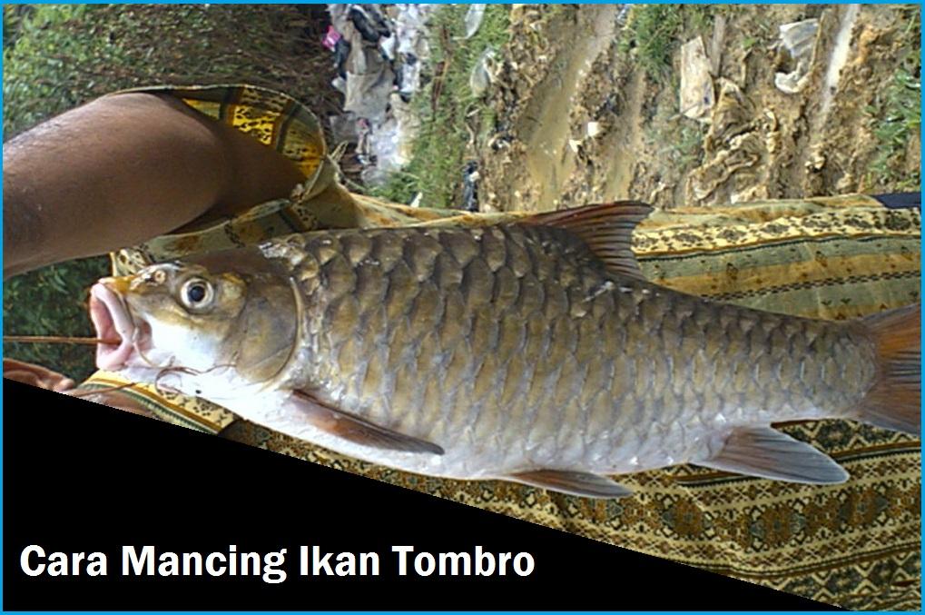 Cara Membuat Umpan Ikan Tombro Mas Umpan Mancing Mania