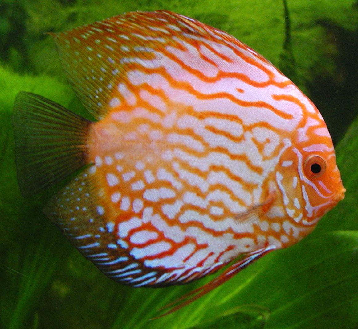 Nature Lover: Discus Fish