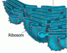 Retikulum Endoplasma: Pengertian, Gambar, Struktur, dan ...