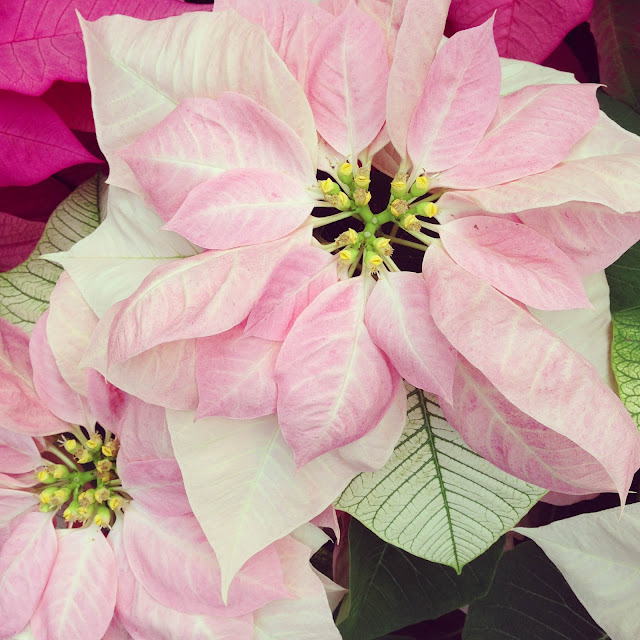 poinsettia, flowers, winter, pink poinsettia, Anne Butera, My Giant Strawberry