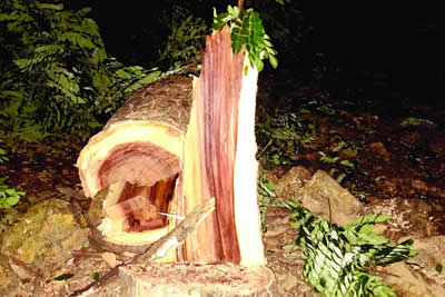 Aarey Tree Cutting