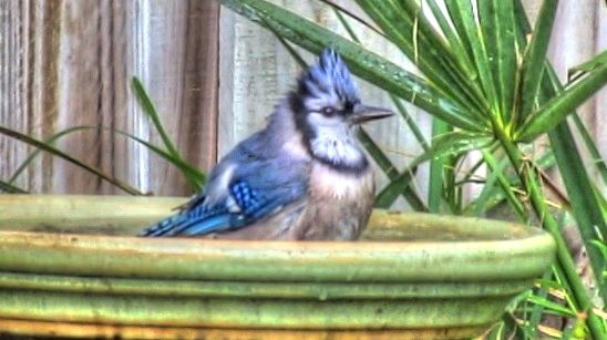 Blue Jay Bird Bath