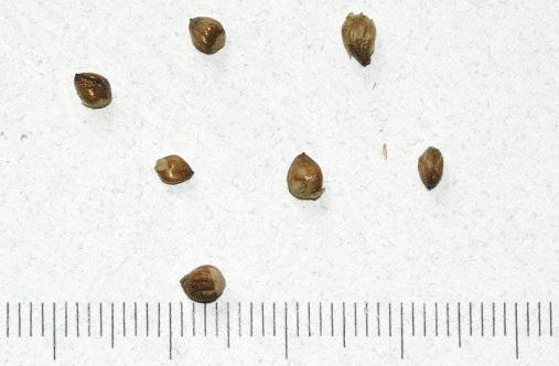 Fruit Seeds of Southern Michigan: Juniperus virginiana