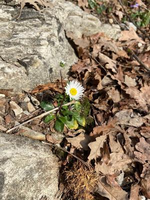 [Asteraceae] Bellis perennis – {Pratolina comune}