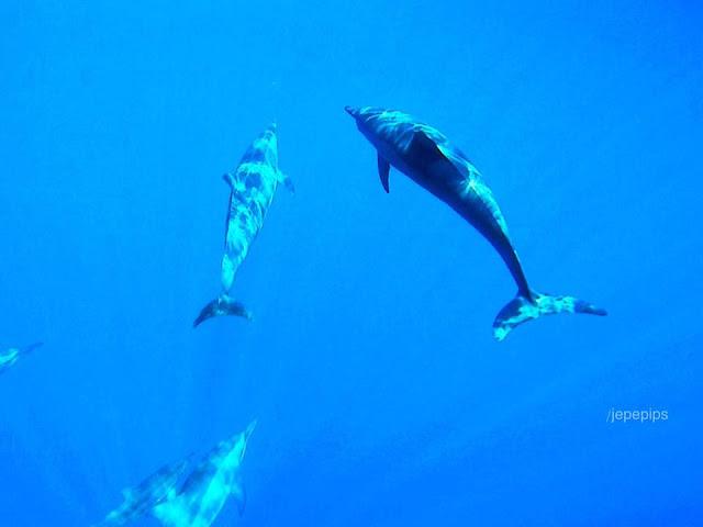 Dolphins of Apo Reef Sablayan Occ Mindoro