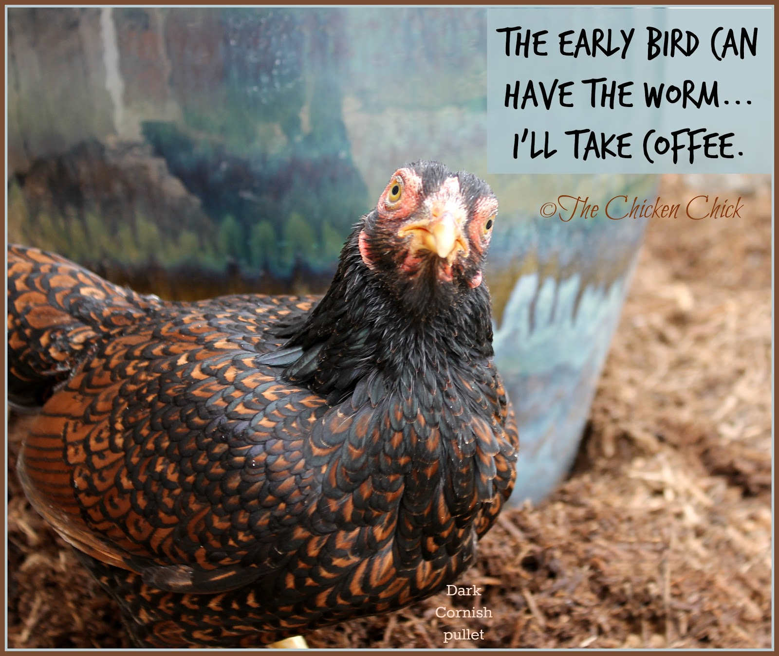 Tips for Selecting Chicken Breeds-The Breed I Need! | The ... Dominique Hen Comb