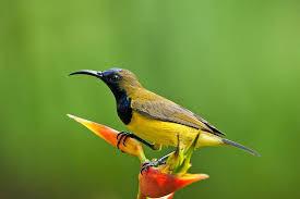 Download Suara Burung Sogok Ontong Gacor Nyecret Panjang