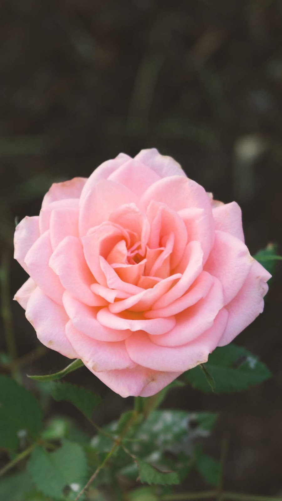 aesthetic pink rose