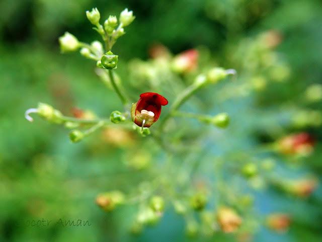 Scrophularia kakudensis