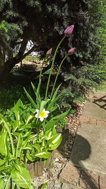 Tulipany - uprawa, inspiracje, zdjęcia