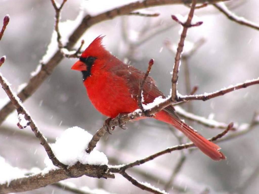 Wild life: Cardinal | wild birds