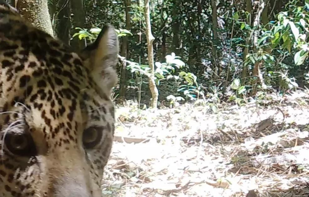 Dois novos filhotes de onça-pintada são filmados no Parque Nacional do Iguaçu