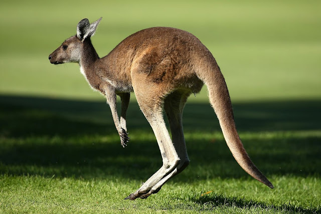 Belajar Mengenal Hewan Kanguru