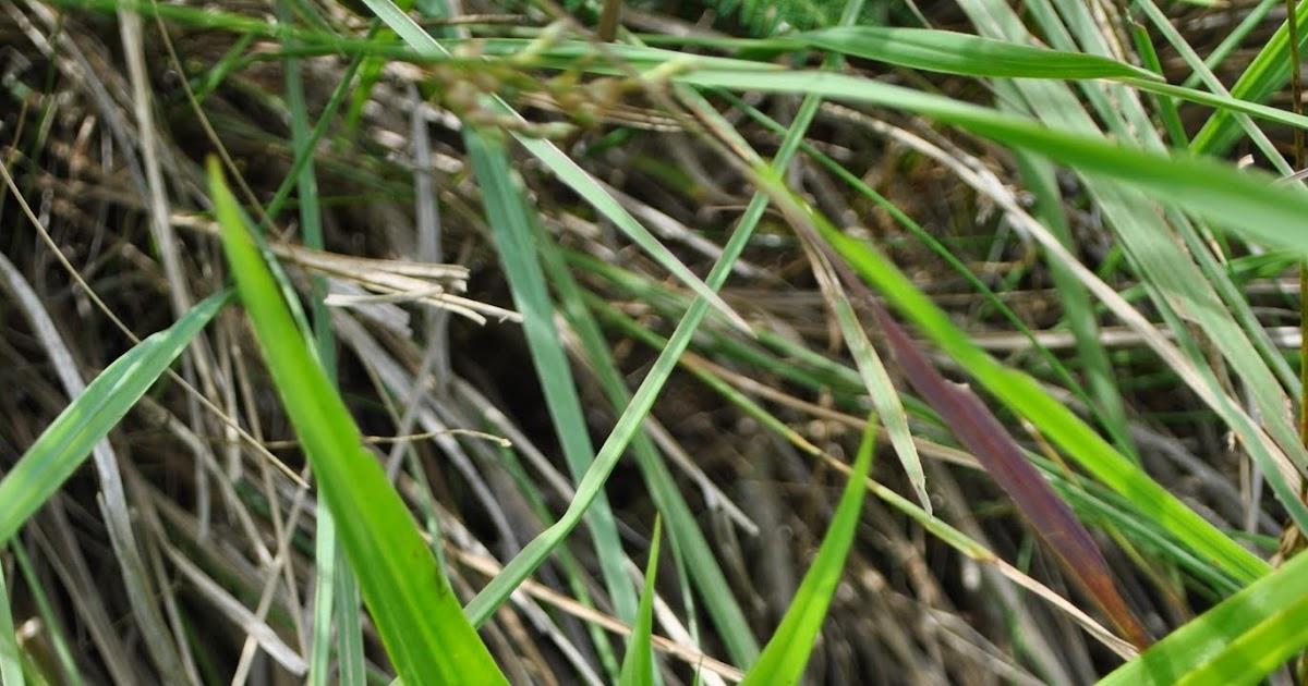 Fotos de flora nativa y adventicias de uruguay habenaria for Suelo pedregoso