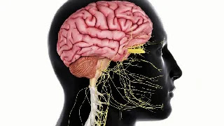 what are the two types of nervous system