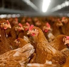 اسعار الدجاج البياض عمر 100 يوم في مصر 2021