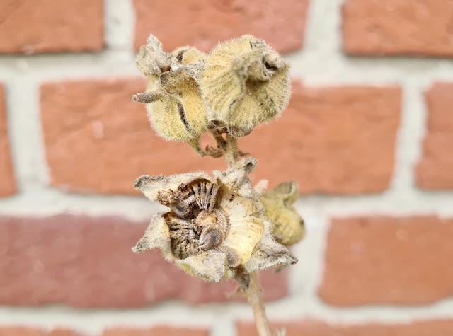 Anleitung: Stockrosen-Samen ernten & Stockrosen aus Samen ziehen. Erst wenn die Samenkapseln der Stockrosen braun sind und sich öffnen, sind die Samen reif und können geerntet werden. Ich zeige Euch in einer Schritt-für-Schritt-Anleitung, wie das funktioniert.