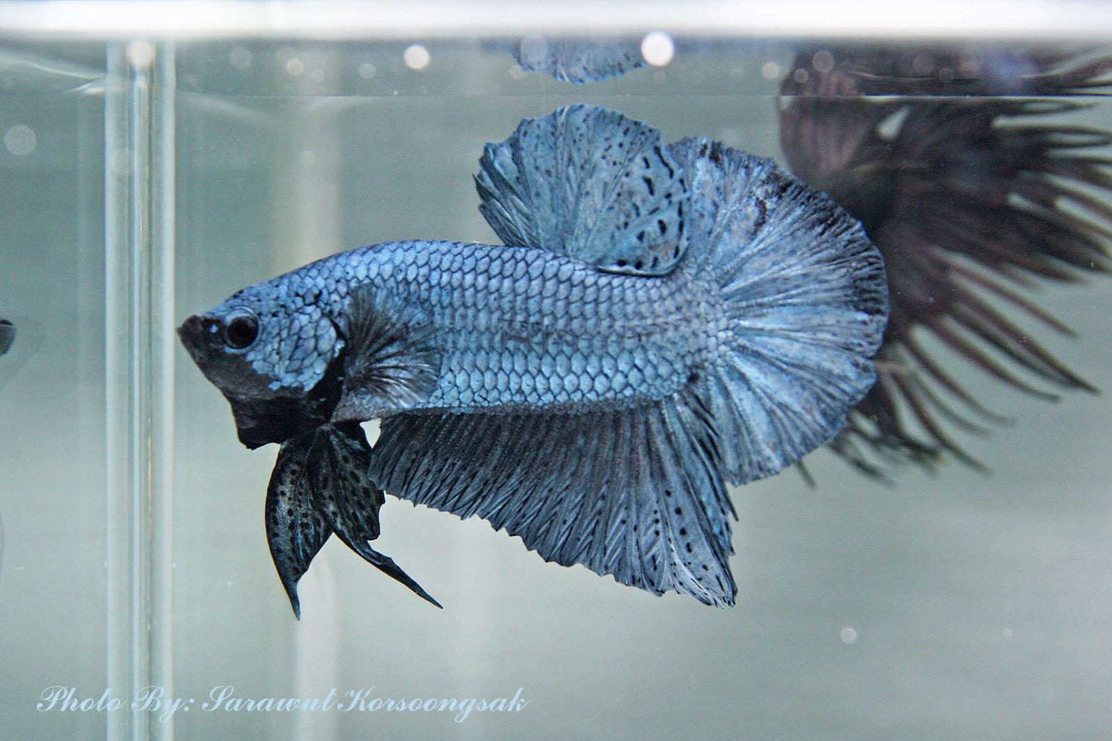 Ikan Cupang Steel Blue Betta - Ikanhiasku.net