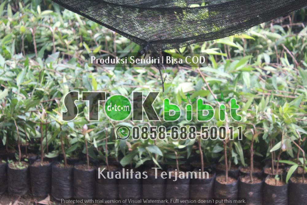 Hama Dan Penyakit Pada Tumbuhan Kayu Jati      Unggul     berkualitas