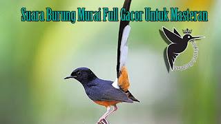 Suara Burung Murai