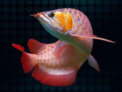 Jenis Jenis Ikan Arwana Lengkap Beserta Harganya