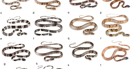 New snail-eating snakes from Ecuador