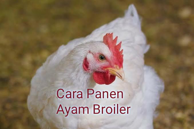 Cara panen ayam broiler