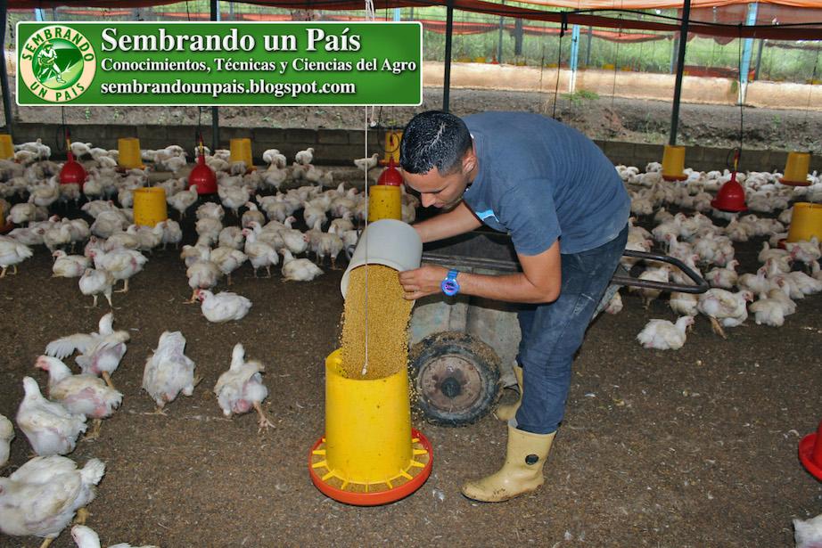alimentación del pollo de engorde