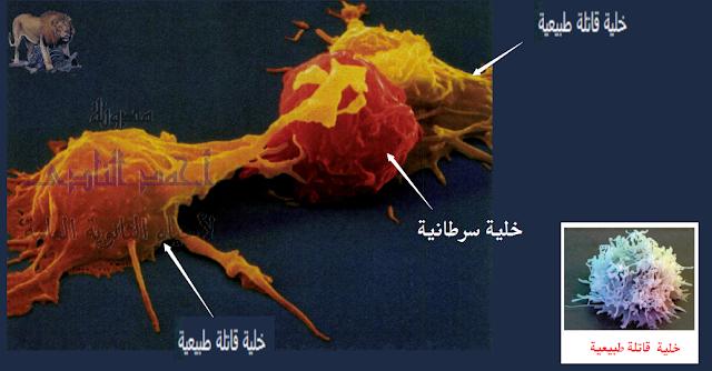 تركيب الجهاز المناعى - الخلايا الليمفاوية - الخلايا القاتلة الطبيعية nk