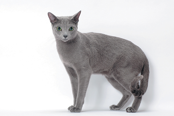 Information about Russian Blue Cat Breed
