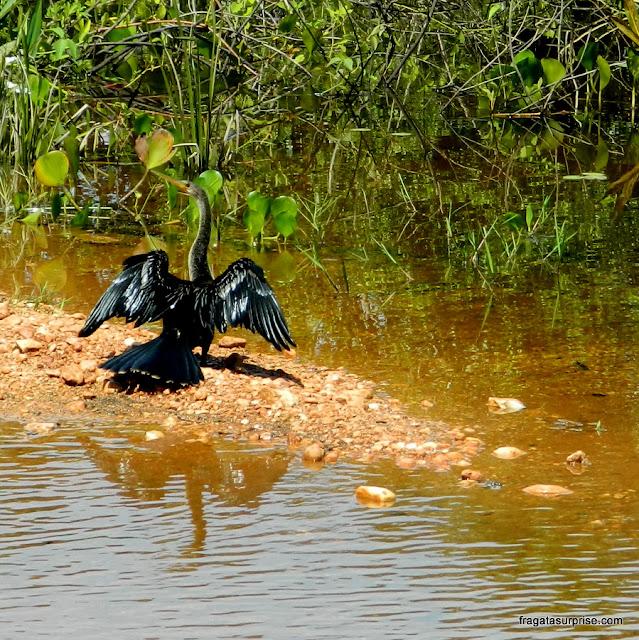 Biguá, ave típica do Pantanal do Mato Grosso