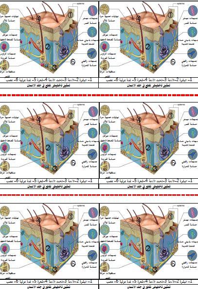 رسم تخطيطي لمقطع في الجلد يوضح المستقبلات الحسية علوم طبيعية للسنة الرابعة متوسط