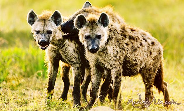 Gambar Hyena