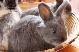 Raising rabbits for fiber and meat