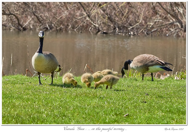 Canada Geese: ... on this peaceful morning...